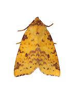 Pink-barred Sallow Xanthia togata Length 19-21mm. A beautiful moth (the colours of autumn leaves) that rests with its wings spread flat. Adult has yellowish forewings overall, with a chestnut-brown central band and head end, and speckling of a similar colour. Larva feeds inside sallow catkins. Widespread throughout but commonest in southern and central Britain.
