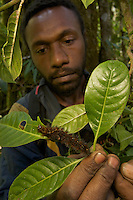 A researcher (local parataxonomist) examining a caterpillar in the rain forest..