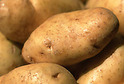 Close up, selective focus photograph of a group of Long White potatoes