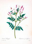 19th-century hand painted Engraving illustration of a Spanish jasmine, Royal jasmine. Jasminum grandiflorum. By Pierre-Joseph Redoute. Published in Choix Des Plus Belles Fleurs, Paris (1827). by Redouté, Pierre Joseph, 1759-1840.; Chapuis, Jean Baptiste.; Ernest Panckoucke.; Langois, Dr.; Bessin, R.; Victor, fl. ca. 1820-1850.