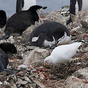 A snowy sheathbill searching for food scrapes among the chinstrap penguin rookery on Half Moon Island,. Antarctica.