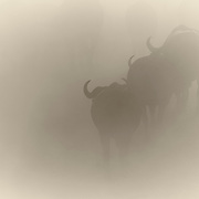 """""""Into the Dust""""                                                  Zimbabwe<br />  A cloud of dust rises in the distance.  As it approaches, the buffalo emerge to drink from the spring.  Just as they came, they vanish into the the dust and the cloud retreats to the horizon."""