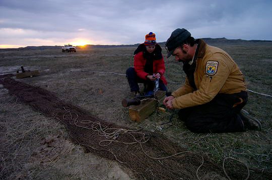 US Fish, Wildlife and Parks collecting data on the Greater Sage Grouse (Centrocercus urophasianus) by using a cannon net. in the Charles M. Russell National Wildlife Refuge in northern Montana. Evening.