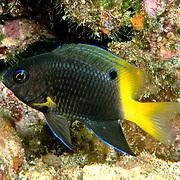 Yellowtip Damselfish inhabIt reefs, in extreem SE Caribbean to Brazil; picture taken in Tobago.