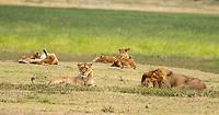A group of Lions, Panthera leo  melanochaita, in Ngorongoro Crater, Ngorongoro Conservation Area, Tanzania