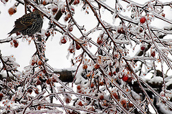 01 December 2006:  A sharp winter storm swept into Central Illinois and the Bloomington-Normal area causing power outages, road closures, white out conditions, tree damage, and virtually every large business and schools to close.  In it's wake, wildlife scurried looking for food.  These birds found a crab apple tree with fruit covered in ice.  They would eat, then fly to a near by birch for some comaradarie, then fly back and eat some more.