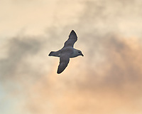Northern Fulmar (Fulmarus glacialis). Viewed from the deck of the MV Explorer. Image taken with a Nikon D800 camera and 70-300 mm VR lens.