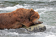 A male Brown bear rests on a rock midstream in the Brooks River, at Katmai National Park