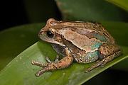 Marsupial Frog (Gastrotheca agramma)<br /> Cuenca <br /> Azuay<br /> Andes<br /> ECUADOR, South America<br /> IUCN STATUS: <br /> RANGE: <br /> captive