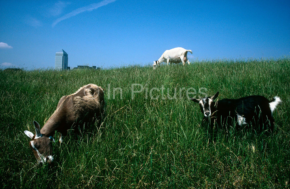 Goats from Mudchute City Farm graze on a grassy bank that overlooks the early Docklands development of Canary Wharf in the early-1990s. The massive Thatcherite regeneration development across the Thames is starting to be built with the Canaray Wharf tower the first to rise above the grassy hill on the Isle of Dog, to the south. The animals are from the nearby Mudchute Park & Farm, one of the largest city farms in London with 32 acres of countryside in the inner-city.