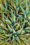 a tight group of Agave plants (Agave Americana) also known as Century Plant and Aloe in the Anza Borrego Desert, California, USA