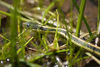 Santa Cruz garter snake, Thamnophis atratus atratus, Mount Diablo State Park, California