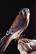 Hawk, Sonora Desert Museum, near Tucson, Arizona.