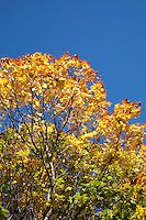 Top of a tree in autumn against a blue sky