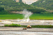 """Exclusive<br />Brown Bears in the Valley of Geysers<br /><br />Every year people burn their feet in the Valley of Geysers and caldera of Uzon volcano.  They do not pay attention to the warnings. But what about bears? They cannot read the instructions and wooden decks are built not for them. And they do not wear shoes..<br />For millions of years of evolution animals have learnt to use heat for their own good. Some birds make their nests on the warm ground, the volcanic soil works like an incubator. Nestlings grow faster and begin flying earlier, they have more chances for survival.<br /><br />Bears are also smart enough to use the heat of the volcano for their own good. They like to eat the first grass appearing on the warm soil. On some days 20 or 30 bears can accumulate at one place of the valley. It's unique even for Kamchatka.<br /><br />They like to warm up here in bad weather. April, May and even beginning of June are quite cold in the region. On such days bears lie on the warm volcanic ground. They even have their favourite places on the slopes.<br /><br />Experienced animals move along the valley quite confidently. At the hottest places they step on the wooden decks made for tourists. They also step on large stones sticking out of the hot water.<br />Though young bears have to study first to avoid troubles.<br /><br />Photographer Igor Shpilenok who captured these stunning images..<br />""""When I first came to Kamchatka, I knew I wanted to do something different. I had seen a lot of photos of bears with salmon from Alaska and Kamchatka. I decided that my mission was to take a photo of a bear with a waterfall in the background. I got that shot my first day on Kamchatka in the Valley of the Geysers, so I had to think of something else. From then on, I took photos of bears with geysers, volcanoes, and other thermal ecosystems. Kamchatka is a unique and wild place, unlike any other, and a place I know will always draw me back. The first time I went there in 2005 w"""