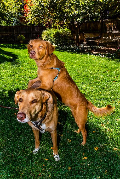 Dog and puppy (An Australian Shepherd/Golden Retriever mix Puppy),  Littleton, Colorado USA.