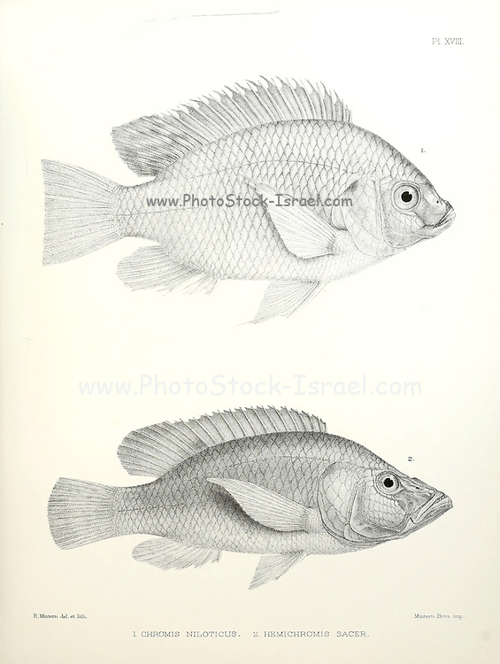 Chromis and jewelfish fish [Here as Chromis niloticus and Hemichronis sacer] From the survey of western Palestine. The fauna and flora of Palestine by Tristram, H. B. (Henry Baker), 1822-1906 Published by The Committee of the Palestine Exploration Fund, London, 1884