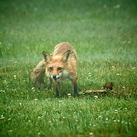 20200621-fox