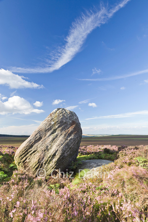 Boulder in summer flowering heather on a windy day, at the southern end of Stanage Edge, Peak District National Park