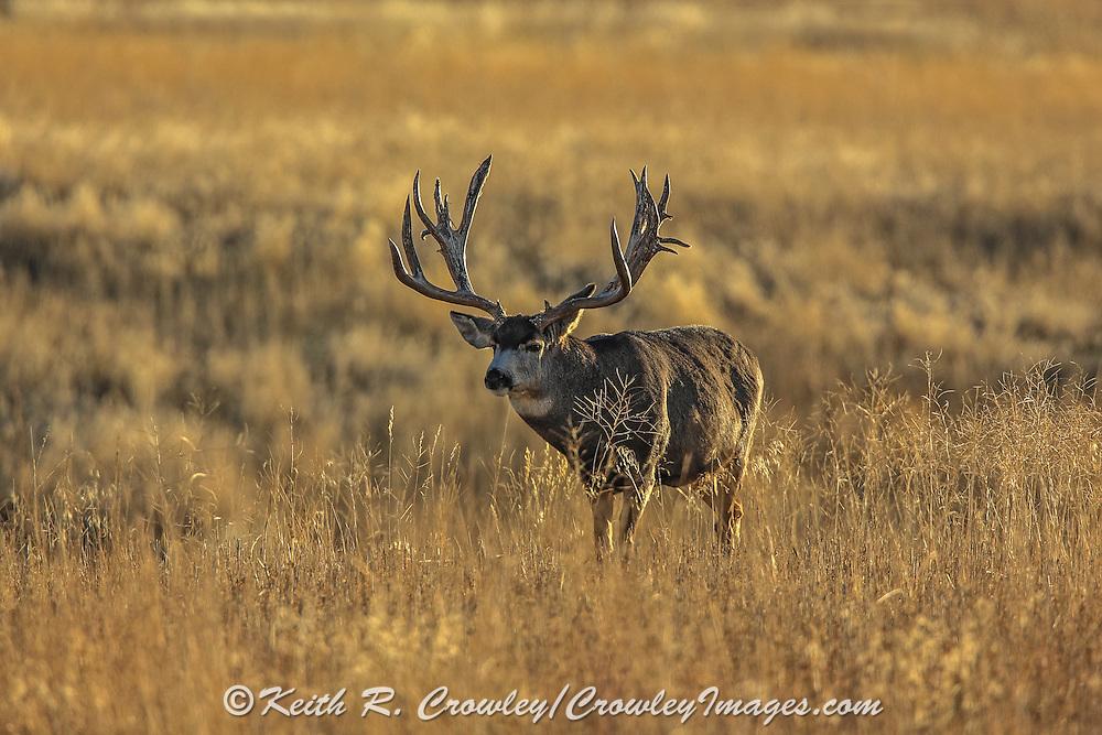 Trophy mule deer buck in open grassland habitat