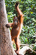 A humorous pose of a juvenile orangutan waving and standing upright while holding on to a tree (Pongo pygmaeus) , Borneo, Indonesia