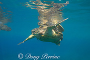 green sea turtles, Chelonia mydas ( Threatened Species ), mating, near Mala Wharf, West Maui, Hawaii, USA ( Central Pacific Ocean )