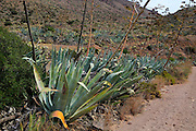 Agave americana cactus plants growing in Cabo de Gata natural park, Almeria, Spain