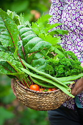 Harvested vegetables in a wicker basket. Chard, runner beans, parsley and tomatoes