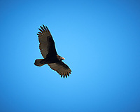 Turkey Vulture soaring. Image taken with a Nikon D3x camera and 300 mm f/2.8 VR lens and 1.4x teleconverter (ISO 125, 420 mm, f/5.6, 1/500 sec).