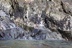 Fur Seals, Elsehul Bay