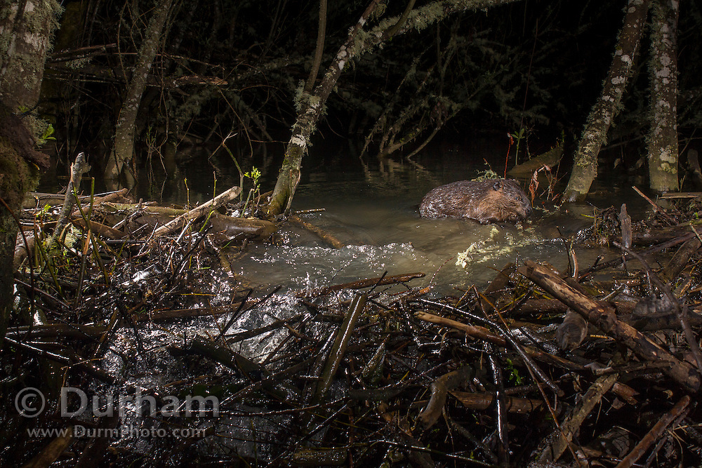 A North American beaver (Castor canadensis) works to repair the breach in its dam after heavy rain and flooding. Philomath, Oregon.