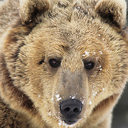 Grizzly Bear portrait in the Rocky Mountains of Montana during the winter. Captive Animal