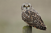 Photographing Wildlife - Short-eared Owl