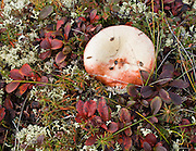 Alpine tundra plants are dwarfed by harsh climate at Wonder Lake, Denali National Park, Alaska, USA. Fungi fruits with a white mushroom.