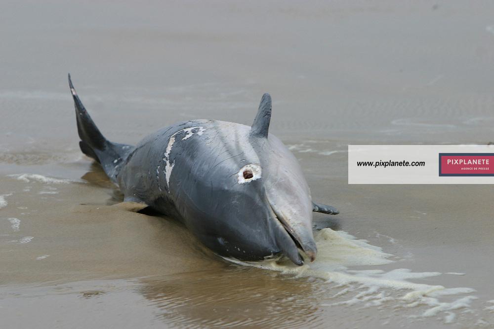 Dauphin mort, victime des filets dérivants des pécheurs - échoué sur la plage dans les Landes - 2006 JSB / PixPlanete / PixPlanete