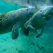 West Indian Manatee, (Trichechus manatus) cow and calf surfacing for air in freshwater spring. Florida.