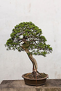 A bonsai tree in the Humble Administrator's garden in Suzhou, China.