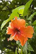 Hibiscus flower, Huahine, French Polynesia