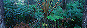 Ama'u fern, Rainforest, HVNP, Island of Hawaii<br />
