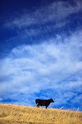 Cow & Sky in central Montana.
