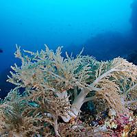 Soft Tree Coral, Lemnalia cervicornis, Bali, Indonesia