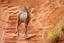 North America, United States, Utah, Bighorn Sheep (Ovis canadensis) on steep cliff above Zion-Mt. Carmel Highway
