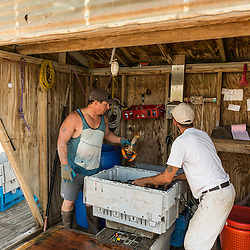 Lobster buyer Damon Rice (right) and captain Jed Miller ('Pontus') weigh lobsters at the Tenants Harbor Fisherman's Coop in Tenants Harbor, Maine.