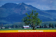 67221-00608 Lone tree and red & yellow tulips in field  Skagit Valley  WA