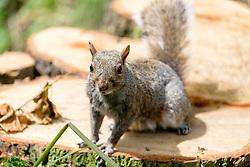 A Grey Squirrel (Scientific name Sciurus Carolinensison) on a felled tree in Graves Park Sheffield <br /> <br />  Copyright Paul David Drabble<br />  09 June 2019<br />  www.pauldaviddrabble.co.uk