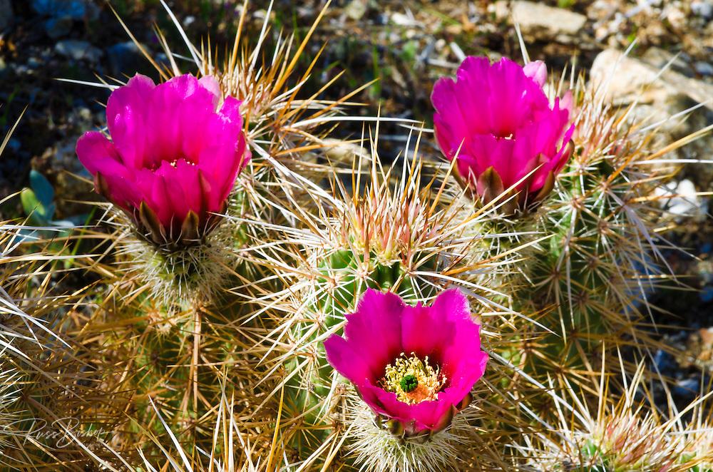 Englemann Hedgehog cactus (Echinocereus engelmannii) in bloom in Plum Canyon, Anza-Borrego Desert State Park, California USA