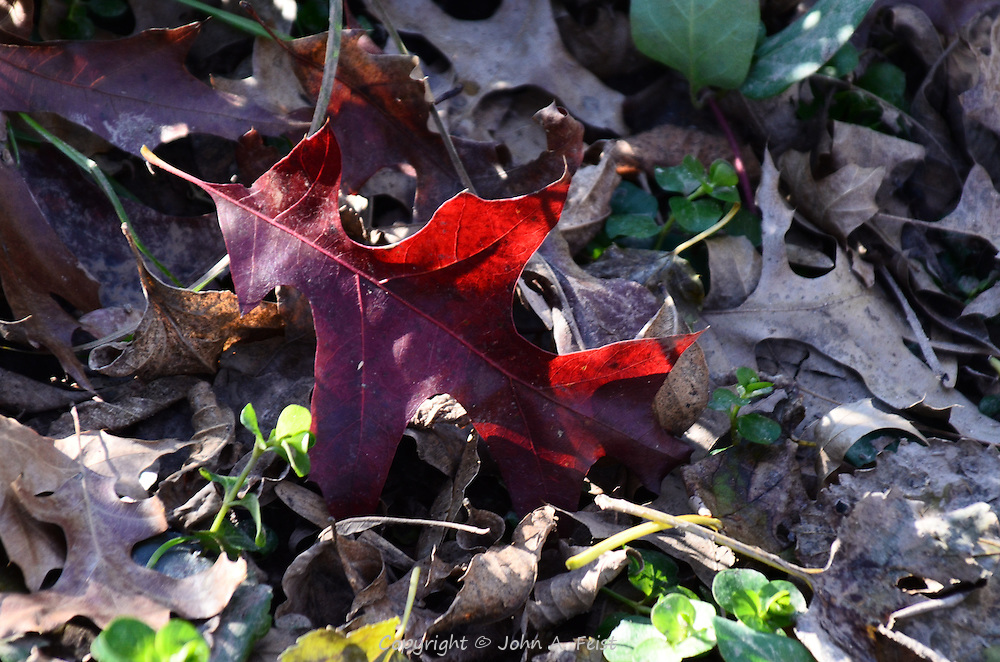 A red oak leaf partly translucent in the sun among fallen leaves and flowers.  HIllsborough, NJ