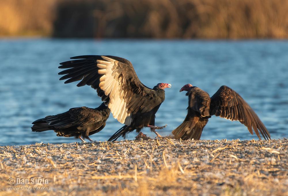 Turkey Vultures, Cathartes aura, at Sacramento National Wildlife Refuge, California