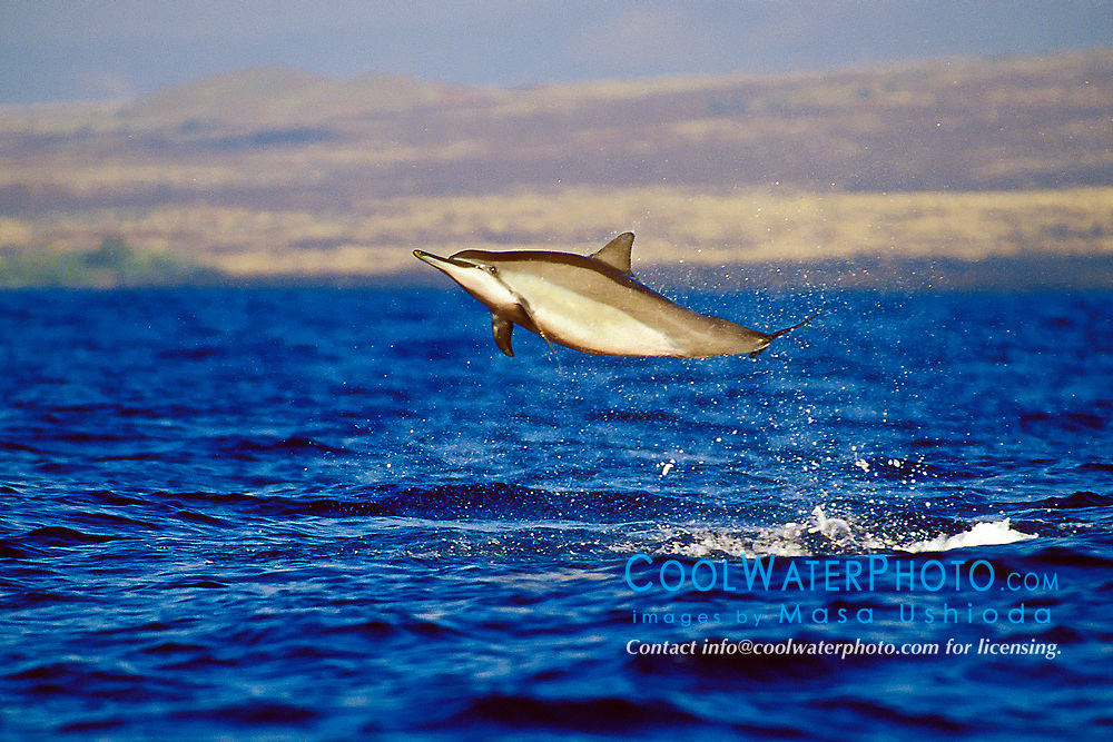 Long-snouted Spinner Dolphin, leaping, Stenella longirostris, off Kona Coast, Big Island, Hawaii, Pacific Ocean