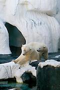 USA, SeaWorld San Diego California, Polar bears